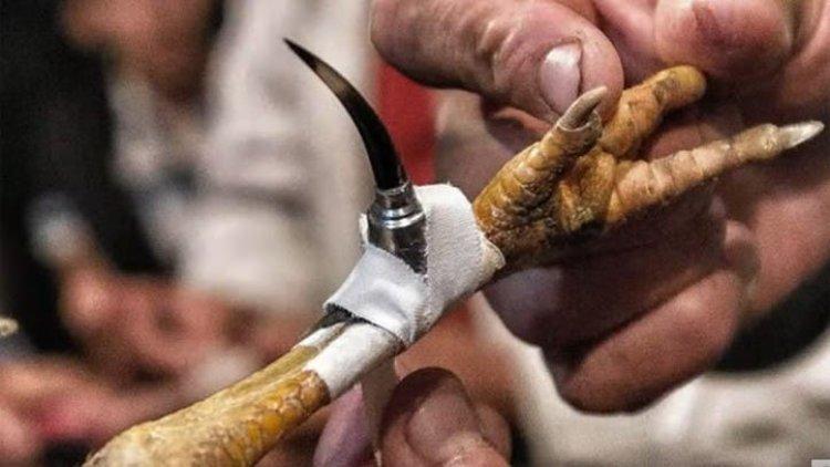 Un gallo mató a su dueño con una cuchilla durante pelea clandestina